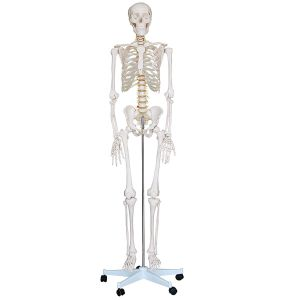 Human Anatomy Skeleton - Full Size Model 6 ft. Tall with Stand
